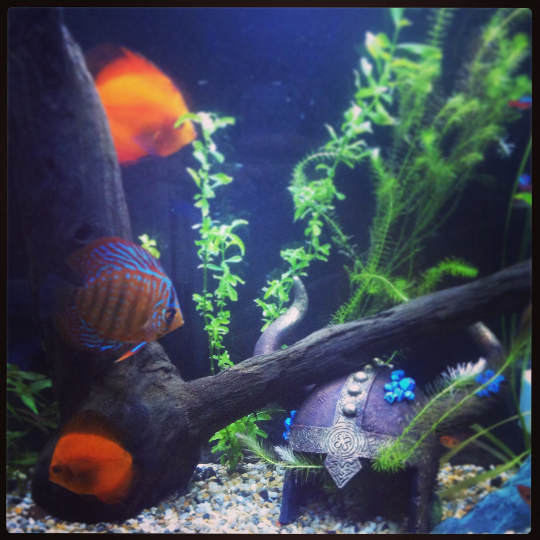 Mi anterior acuario, ahora tengo uno más grande peces disco discus fish