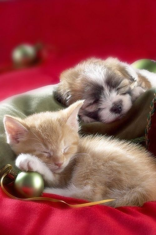 kittens and puppies all snug in their beds as visions of catnip