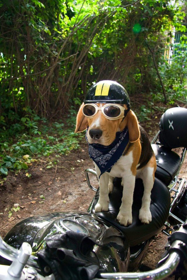 """""""Are you ready or what? I've been wagging all afternoon!"""" #cyclecrunch #badtothebone #bikerpups"""