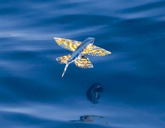 Cypseluruspoeciliopterus2 Big Jpg 526 408 Pixels Underwater Creatures Underwater World Linocut Prints