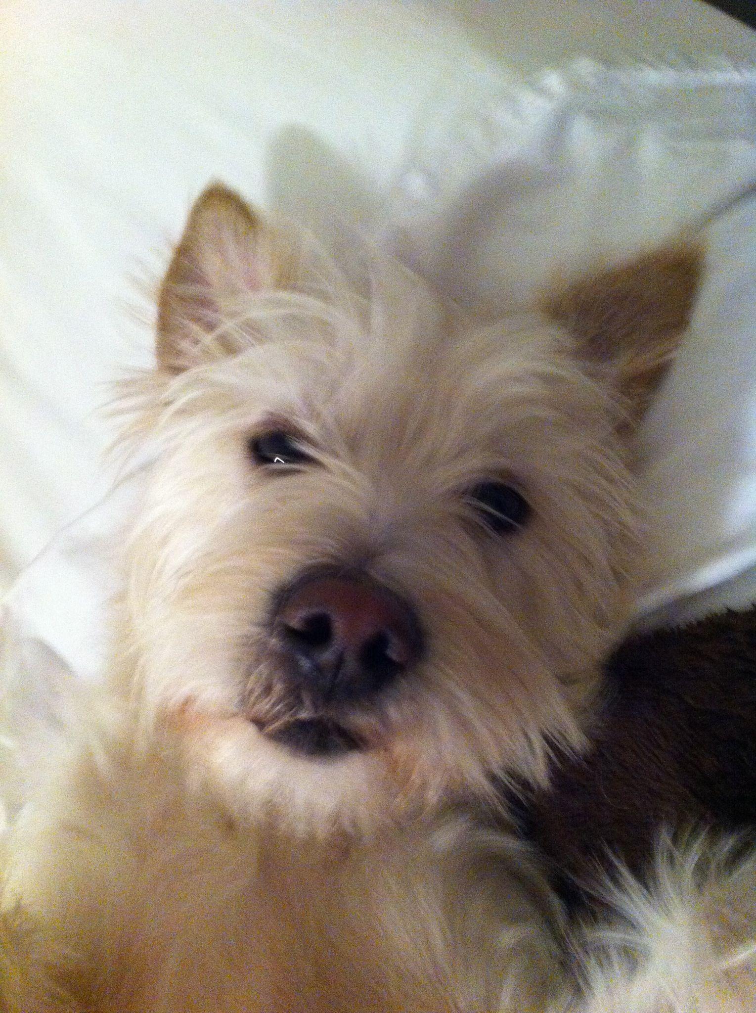 Wauzer!! Pedigree dog, Dog adoption, Schnauzer mix
