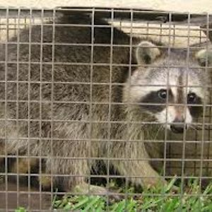 e20a4bfd6d6add904e518874edcbe17c - How To Get Rid Of Raccoons In My Crawl Space