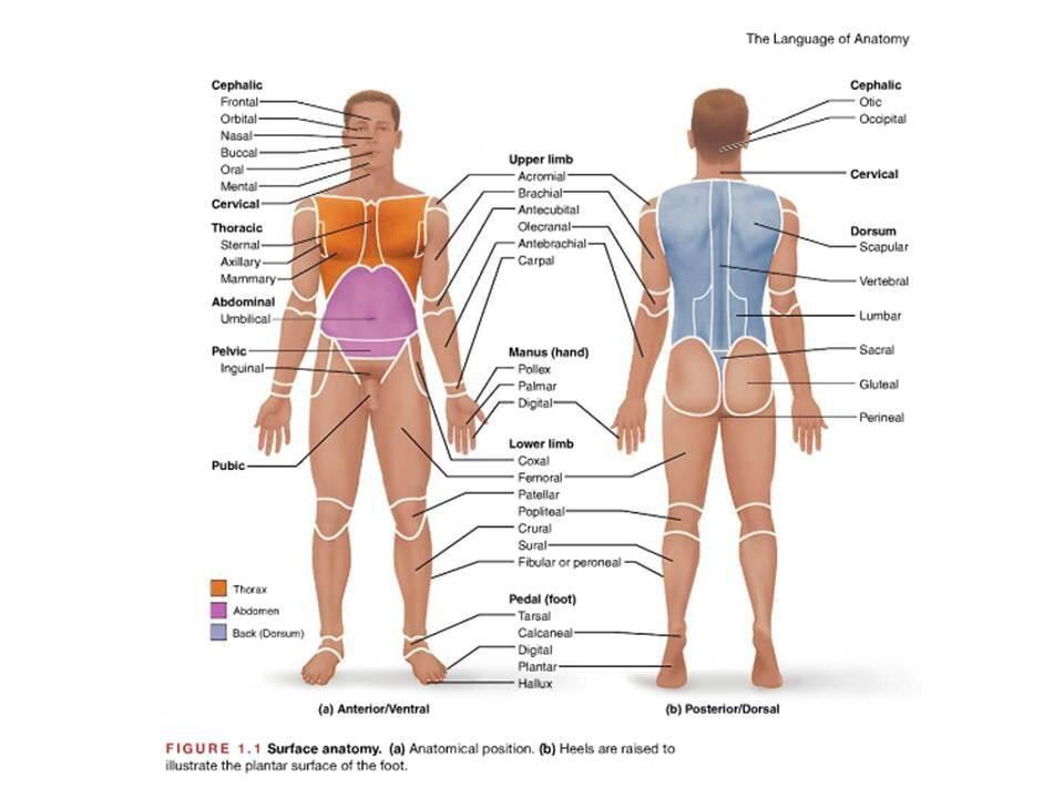 Anatomy Terminology Medicine And More Anatomy Physiology