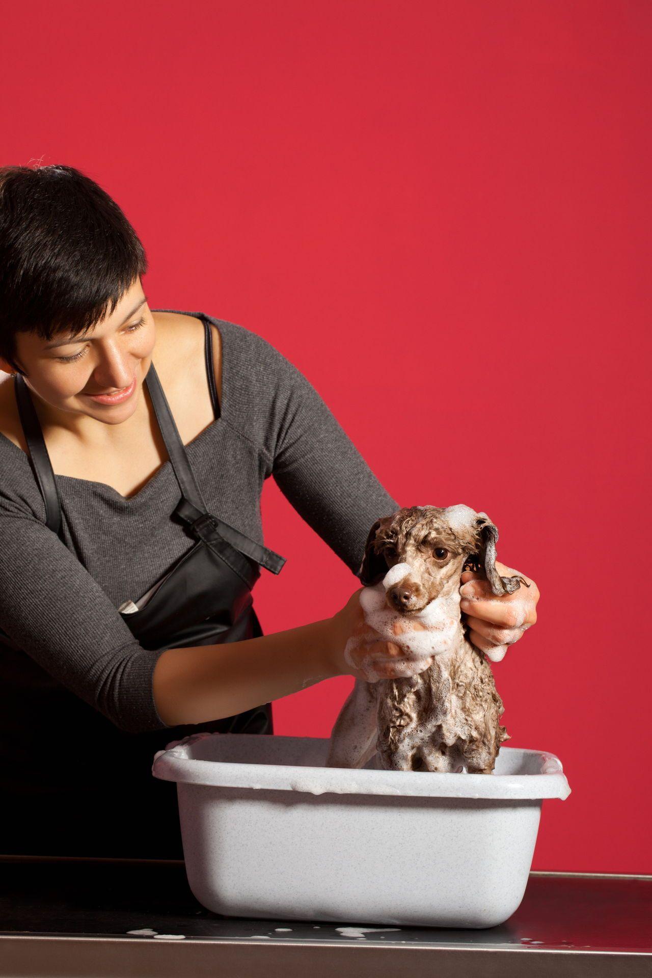 Pet Poodle At Hair Salon Ear infection home remedies