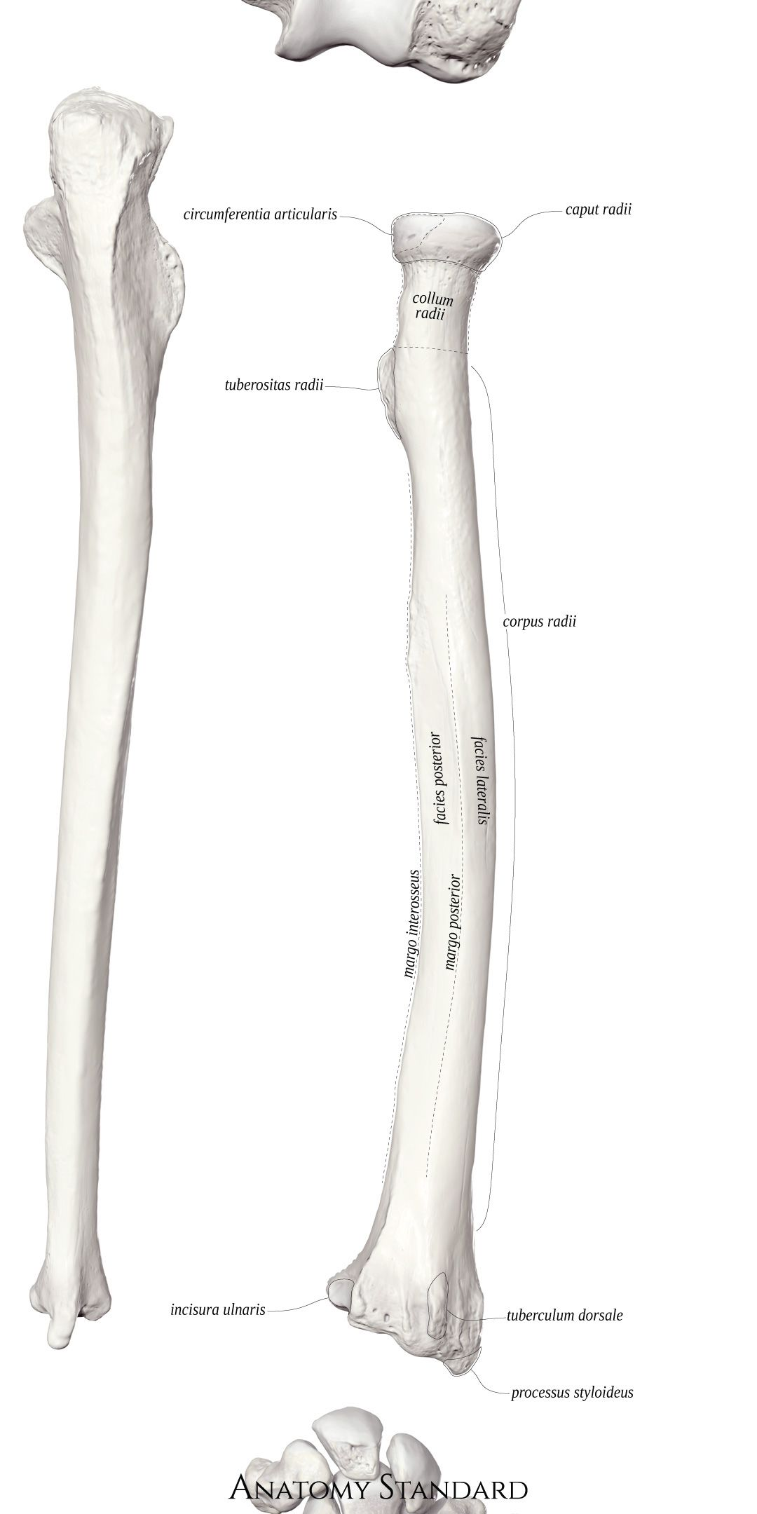 The Posterior Aspect Of The Radius Arm Bones Anatomy Art Bones [ 2160 x 1080 Pixel ]