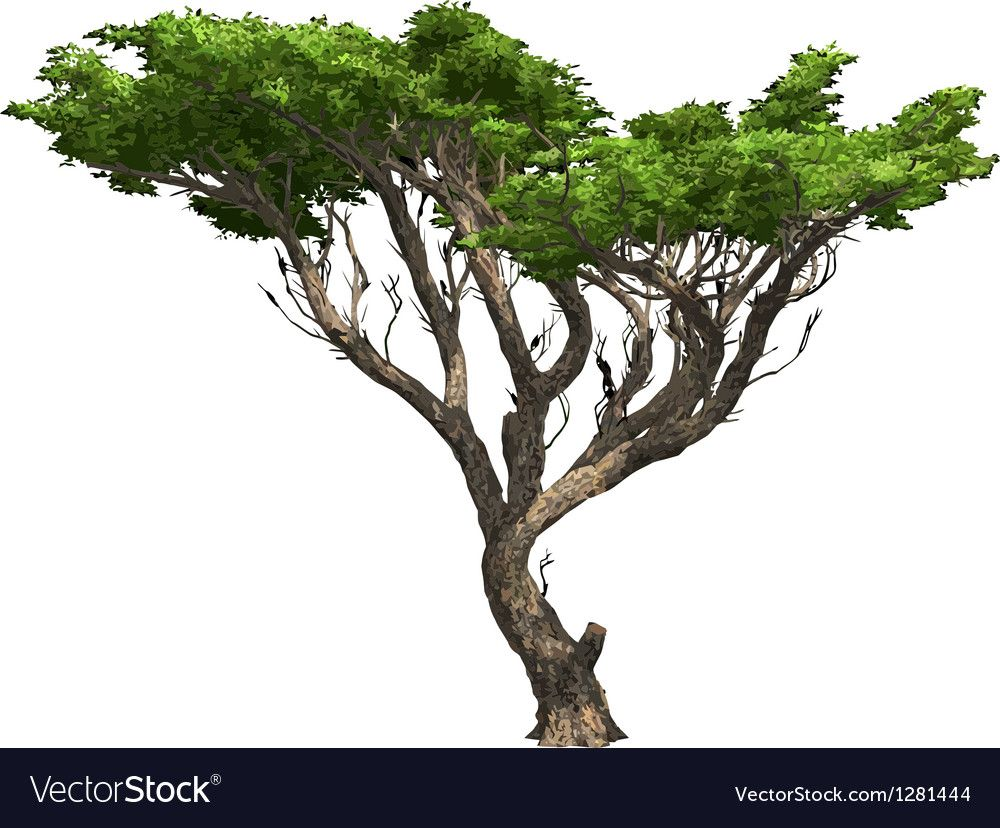 Acacia Tree Isolated Vector Image On Vectorstock Acacia Tree Tree Illustration Tree