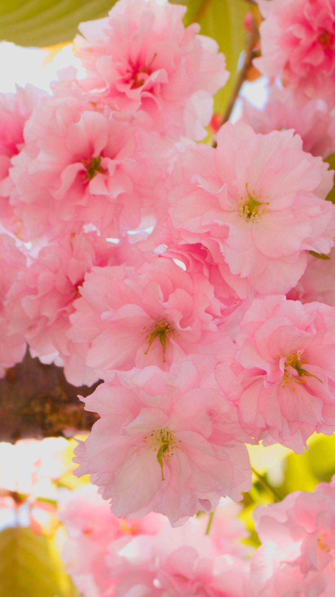 Cherry Blossom iPhone HD Wallpaper Flower wallpaper