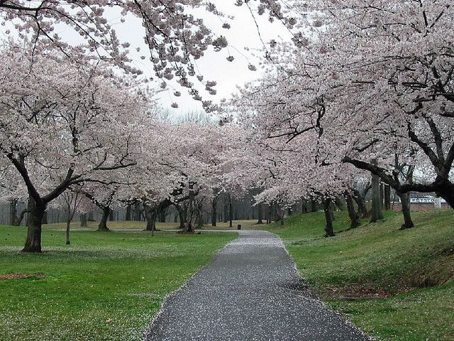 Branch Brook Park Cherry Blossoms Brook Park Blossom Mother Nature