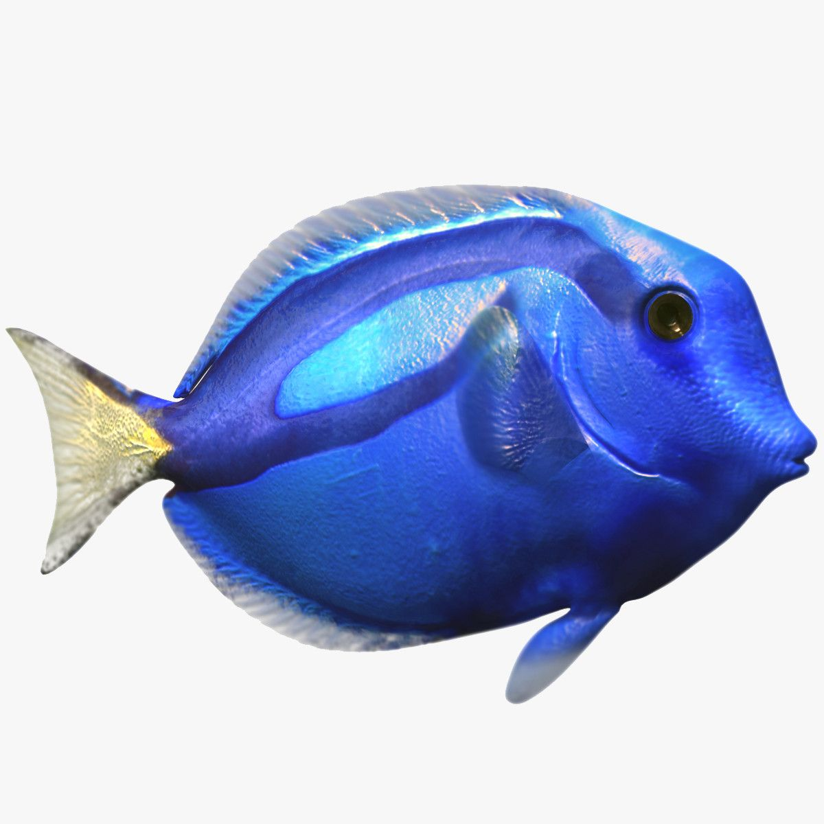 Max blue surgeon tropical fish pinterest tropical max blue surgeon tropical fish jeuxipadfo Images