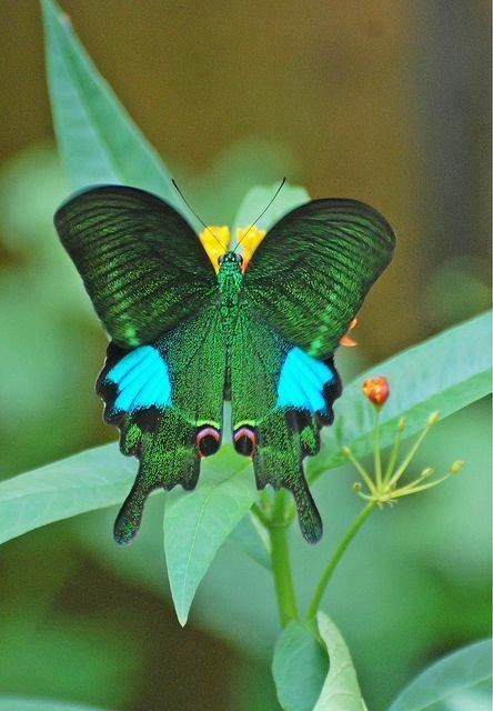 pin von terri mcmanus auf butterfly pinterest schmetterlinge tierbilder und sch ne tierbilder. Black Bedroom Furniture Sets. Home Design Ideas