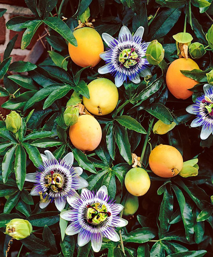 15 Ways To Decorate A Fence With Planters 2019 Have You Ever Wonder What A Passion Fruit Plant And Flow Passion Fruit Plant Passion Flower Plant Fruit Plants
