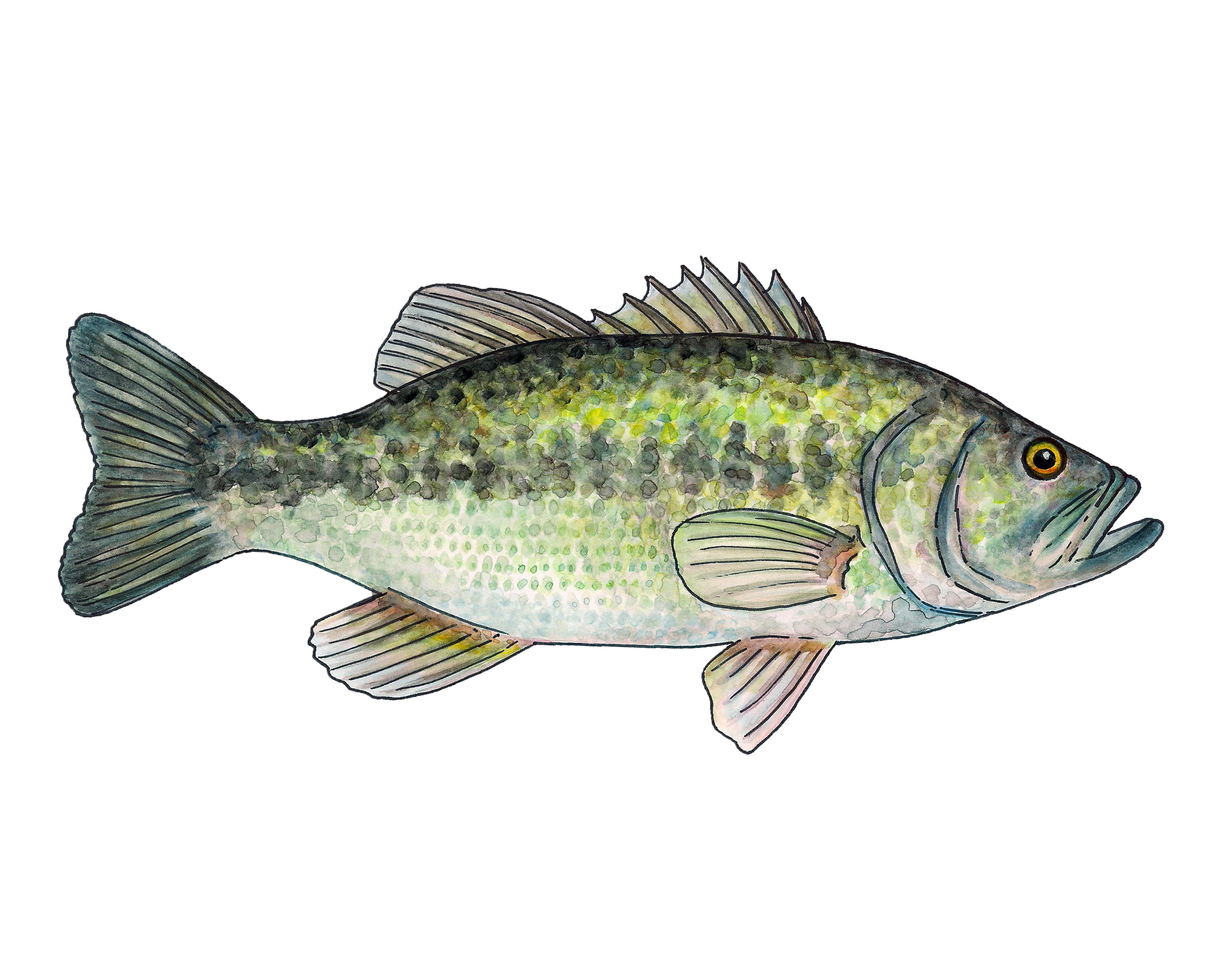Largemouth Bass Watercolor Fine Art Print In 2021 Fish Painting Fine Art Prints Watercolor Fish