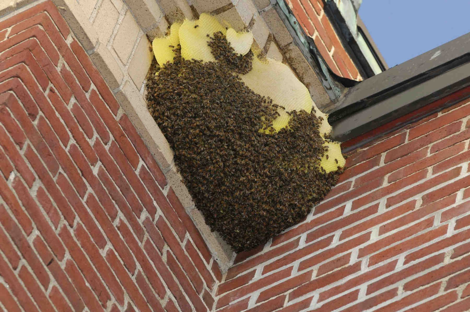 Bee Removal and Control Services Wasp nest removal, Bee