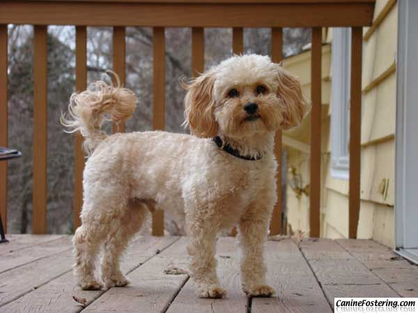 Buddy Is A 3 Year Old Shih Tzu Poodle Mix That S Been With Us A