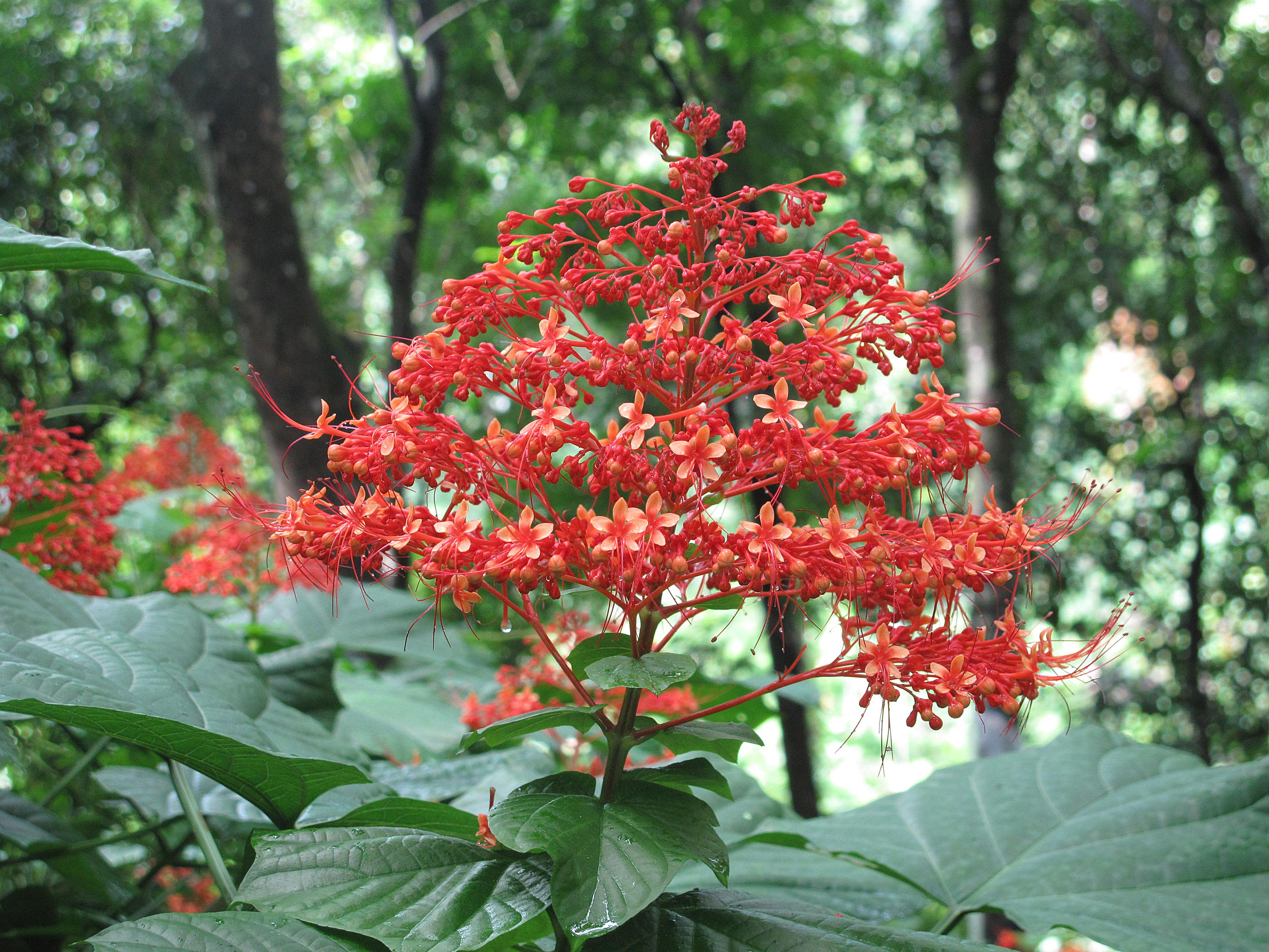 Clerodendrum Paniculatum Pagoda Flower Is A Tropical