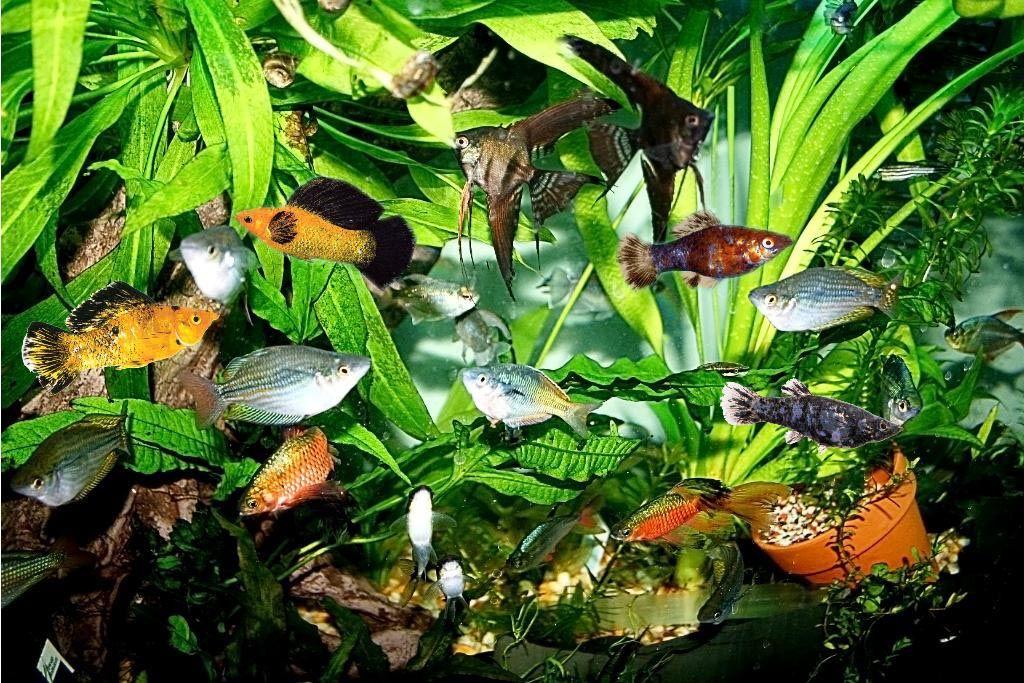 Aquarium Temperature For Tropical Fish Tropical Fish Aquarium Fish Plants Tropical Fish Tanks
