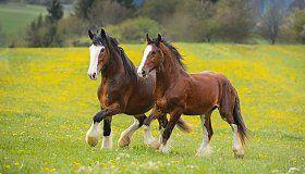 Germany. Draft Horses - Equine Photography by Ekaterina Druz