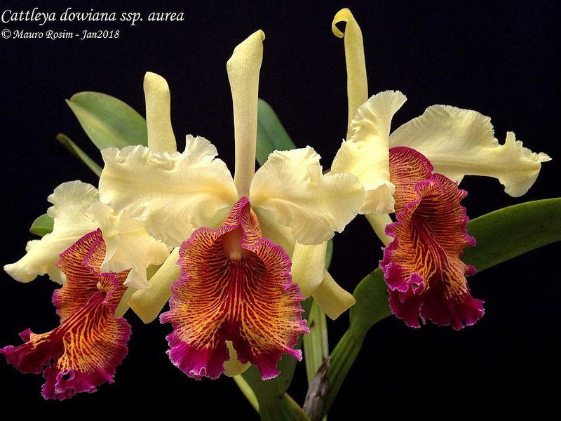 Cattleya Dowiana Ssp Aurea Cattleya Orchids Painting Cattleya Orchid