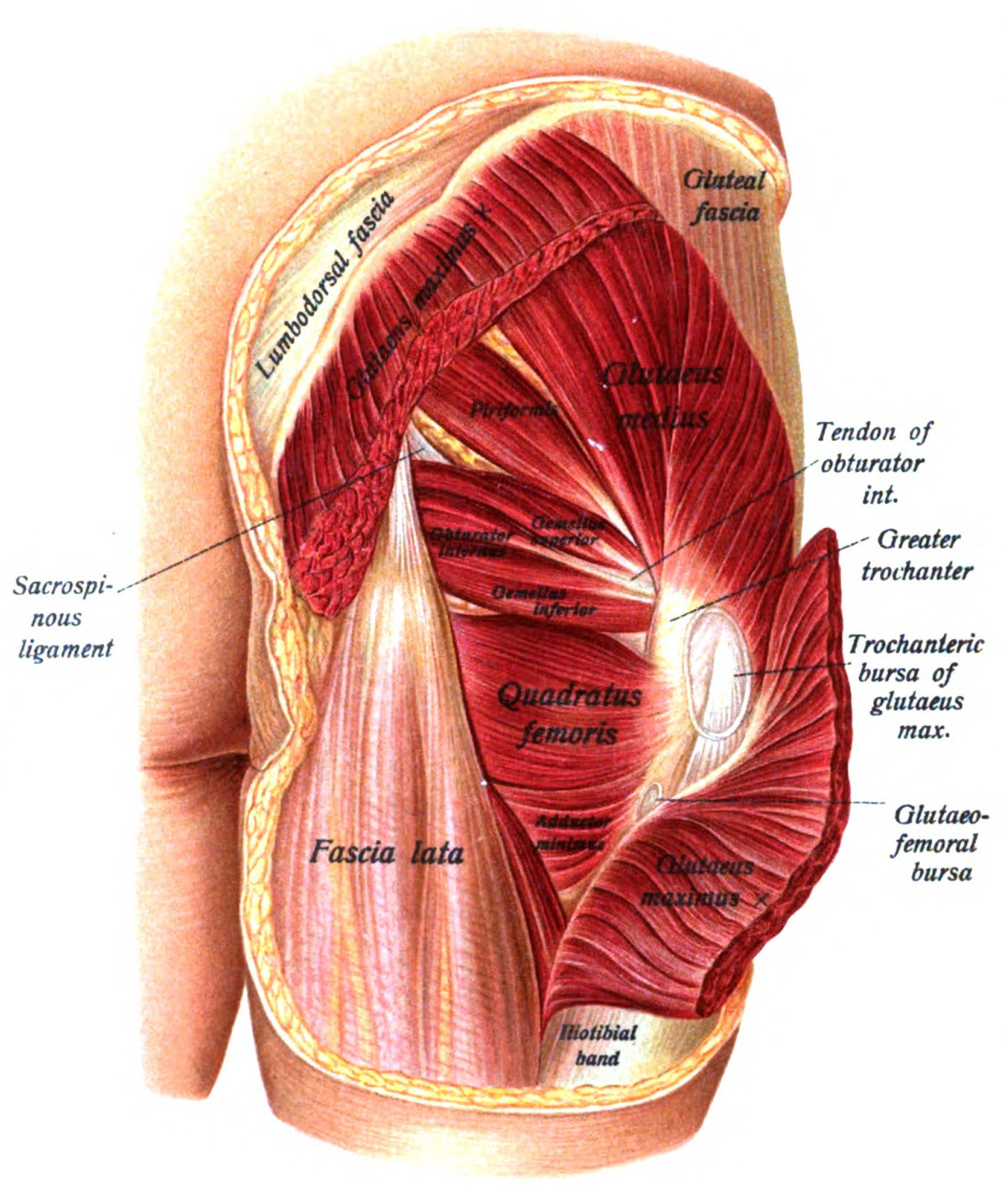 medical anatomy of the bum - Google Search | Pre - Collection ...