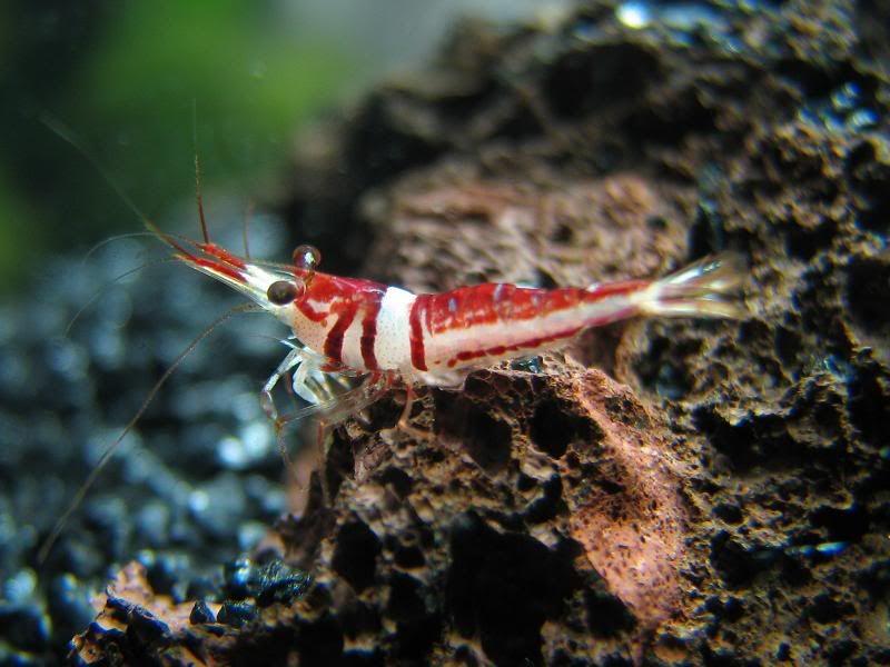 Harlequin Shrimp Information Red Cherry Shrimp Cherry Shrimp Red Cherry Shrimp Rainbow Shrimp