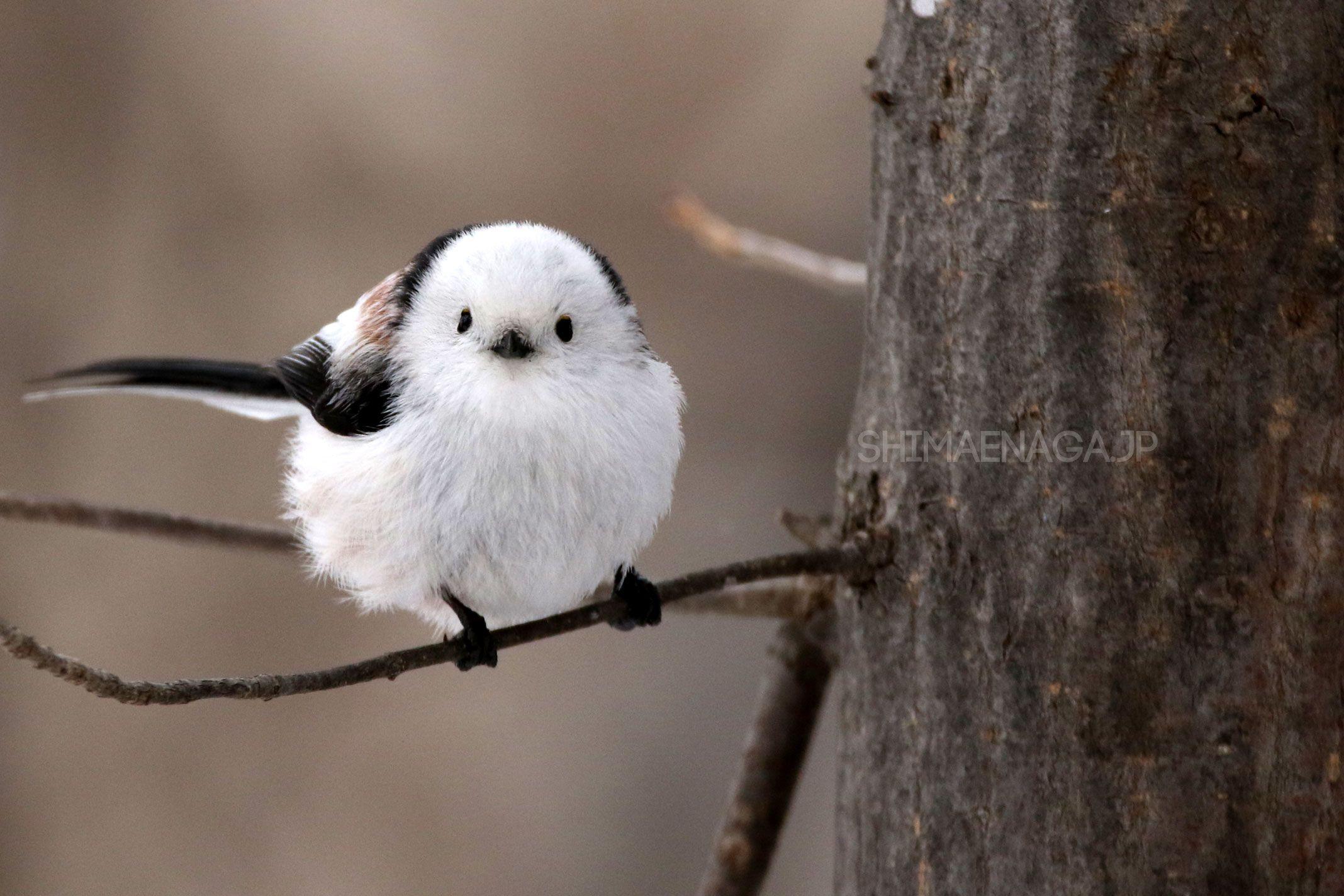 可愛すぎるシマエナガの画像10選 シマエナガ 美しい鳥 鳥 かわいい