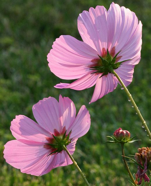 Pink Cosmos 1 Cosmos Flowers Flowers Nature