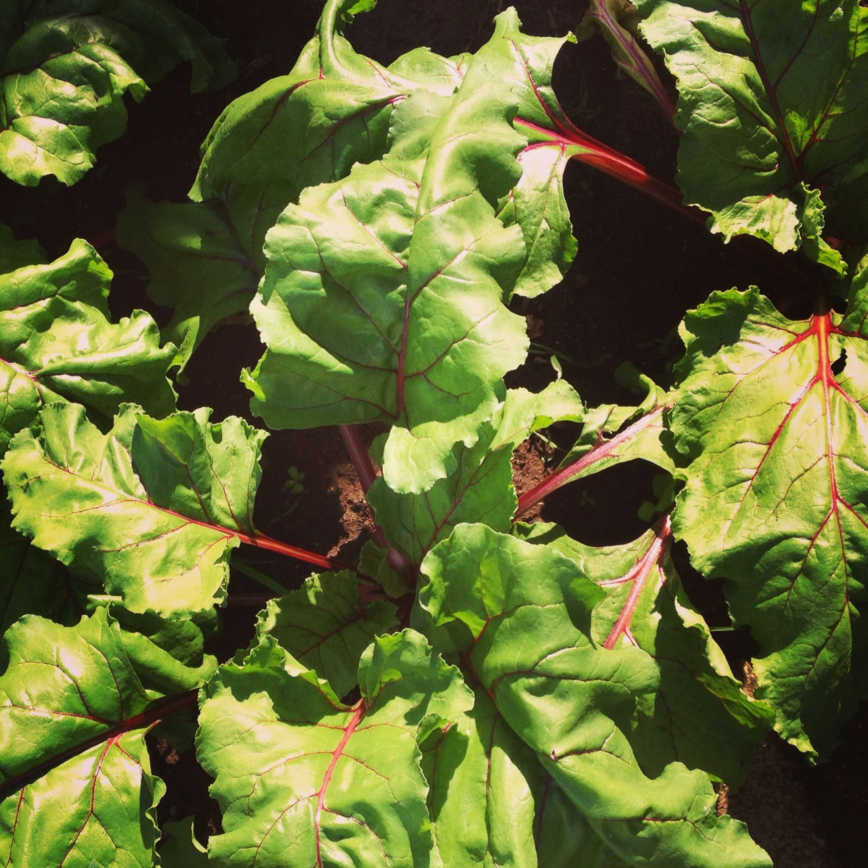 Beets in the garden plant leaves