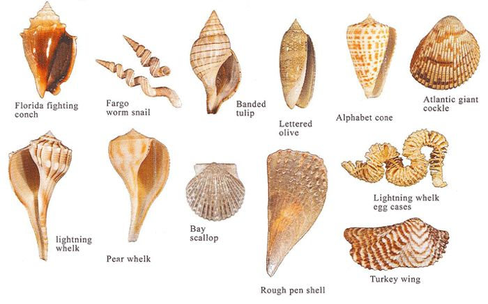 Types of conch shells online image - Types of seashells for kids ...