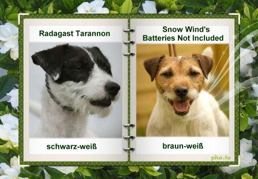 Foxbury S Parson Russell Terrier ジャックラッセル