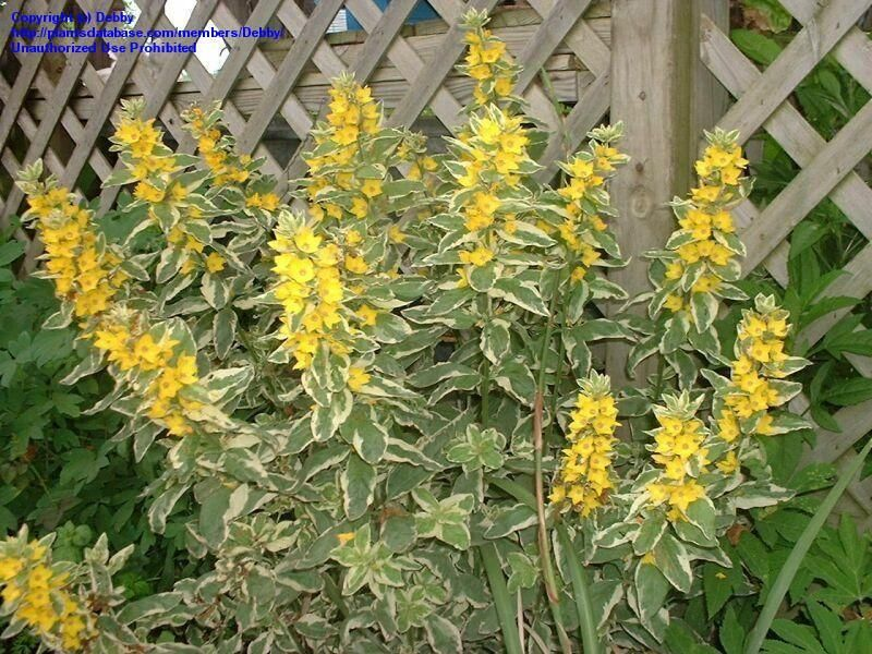 Full size picture of variegated yellow loosestrife circle flower full size picture of variegated yellow loosestrife circle flower alexander lysimachia punctata mightylinksfo
