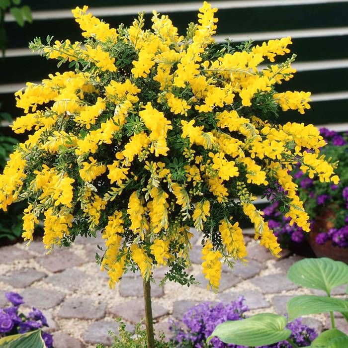 Standard cytisus jaune 1 arbre achetez en ligne sur internet commander vite plants gardens for Commander fleurs sur internet