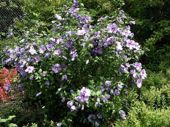 hibiscus syriacus 39 oiseau bleu 39 garden pinterest hibiscus arbuste et jardins. Black Bedroom Furniture Sets. Home Design Ideas