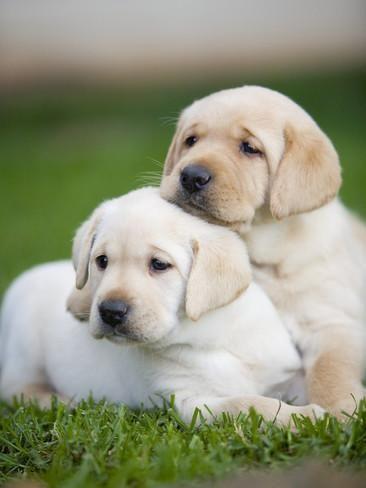 Yellow Labrador Retriever Puppies Photographic Print By Ron