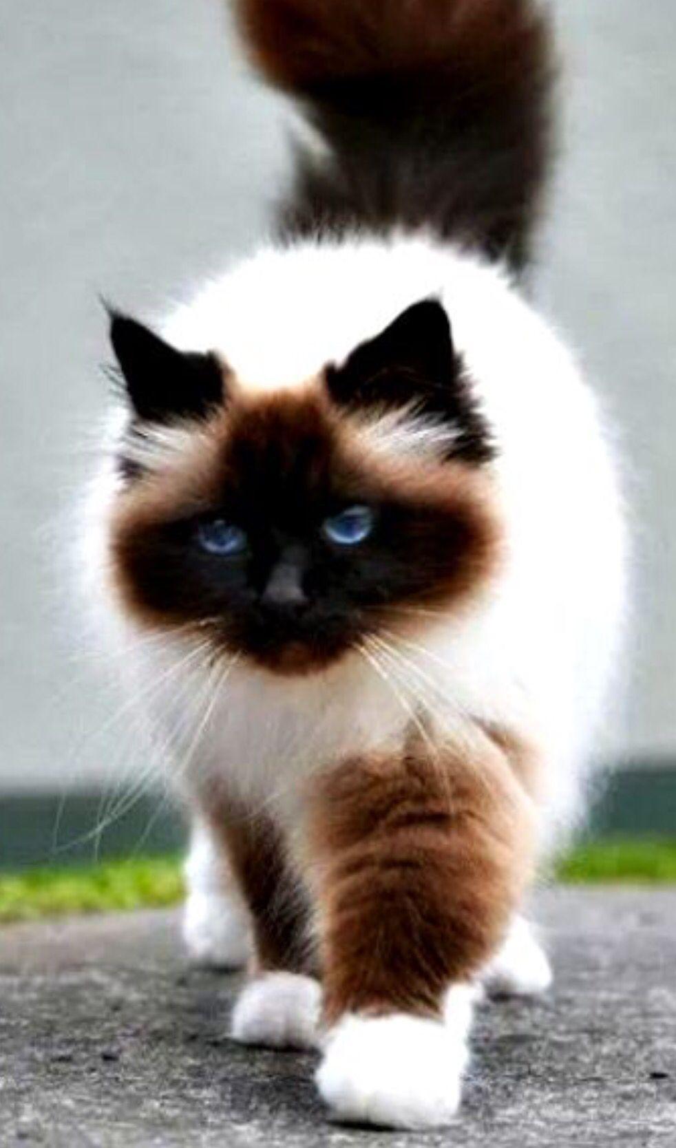 Beautiful Cute Cat Breeds Beautiful Cats Cute Animals