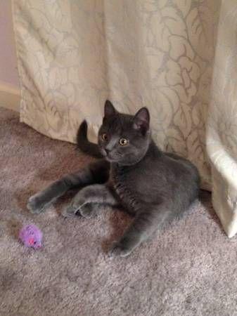 Lost Kitten Bristol Lost Cat Grey Cats Losing A Pet