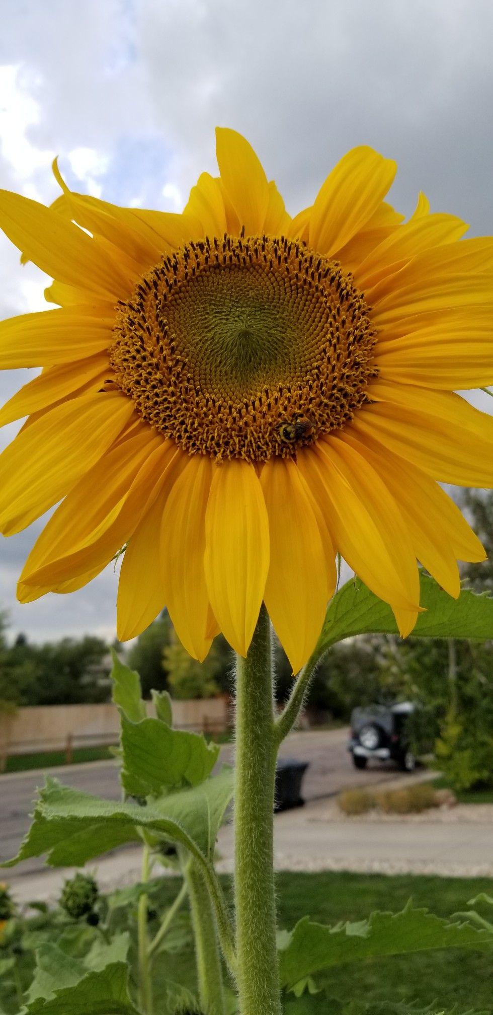 Giant sunflower with bee Giant sunflower, Garden, Bee