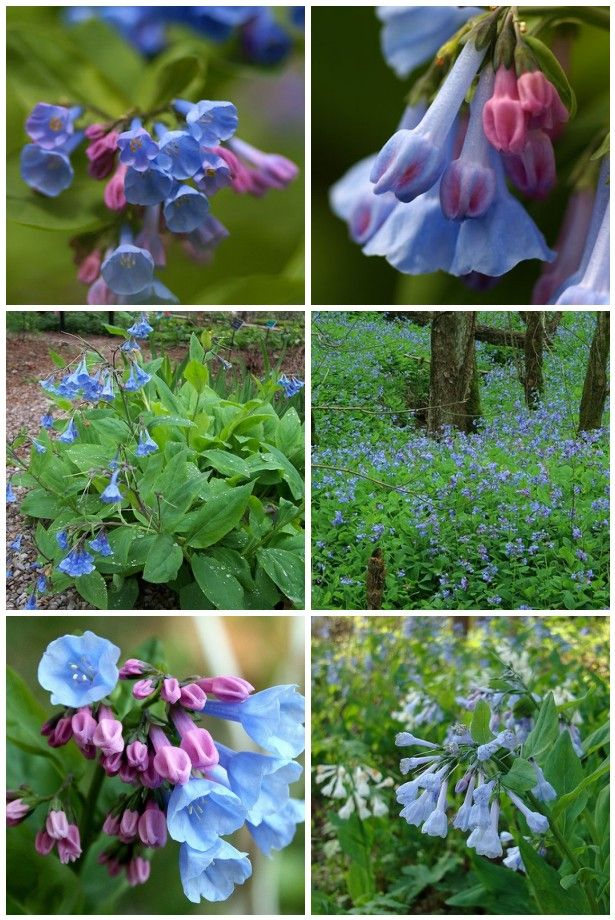 50 Natives Maryland Mertensia virginica Virginia Bluebells