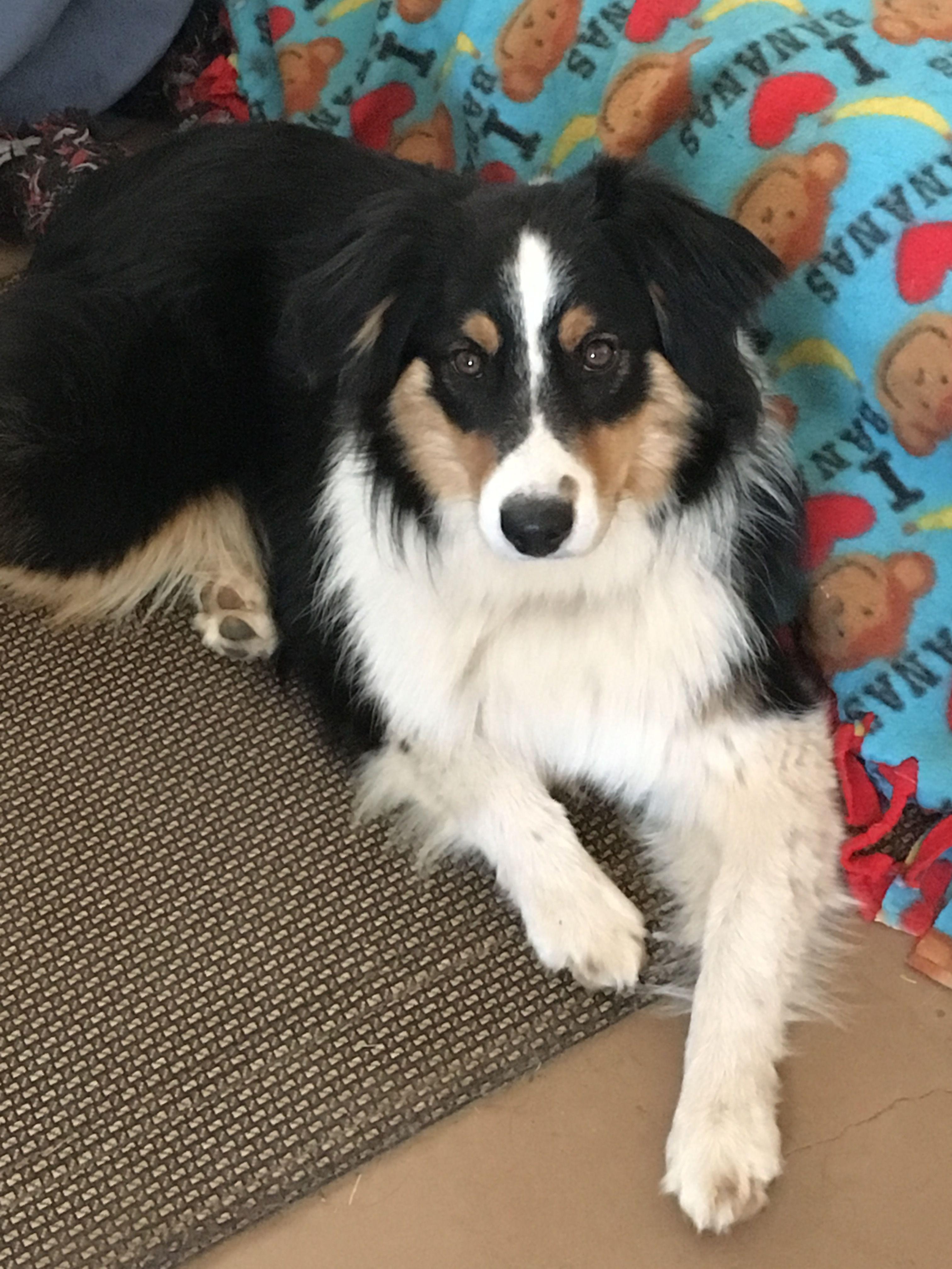 Adopt Carter On Petfinder Dog Adoption Australian Shepherd Dogs