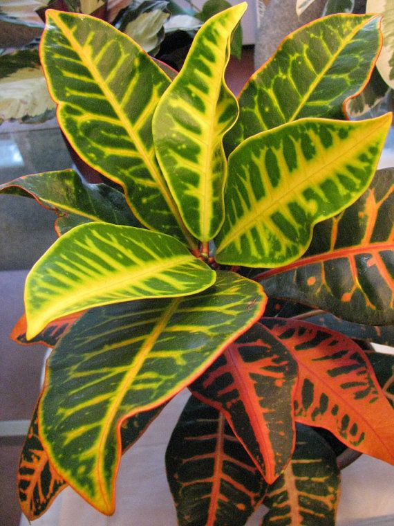 Multi Color Croton Plant Croton plants stiff, leathery ... on orchids red, mums red, cactus red, peppers red, design red, animals red, ornamental grasses red, pots red, berries red, nature red, flowers red,