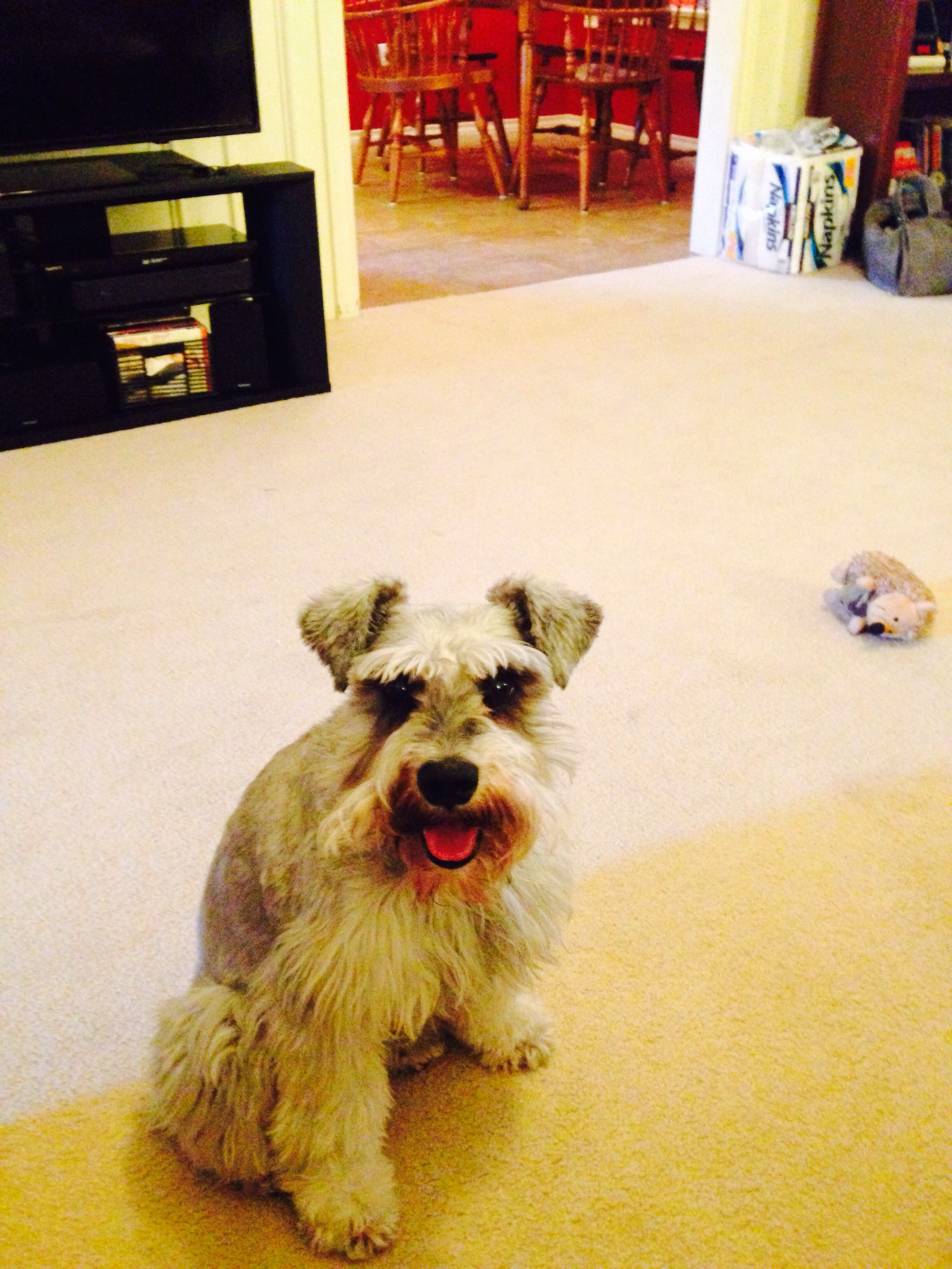 Cute Duncan Submitted By Sitter Ruth Love Your Pet Service