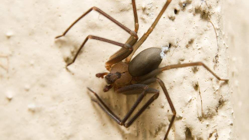 Man's Leg Ravaged By FleshEating Spider Bite Brown