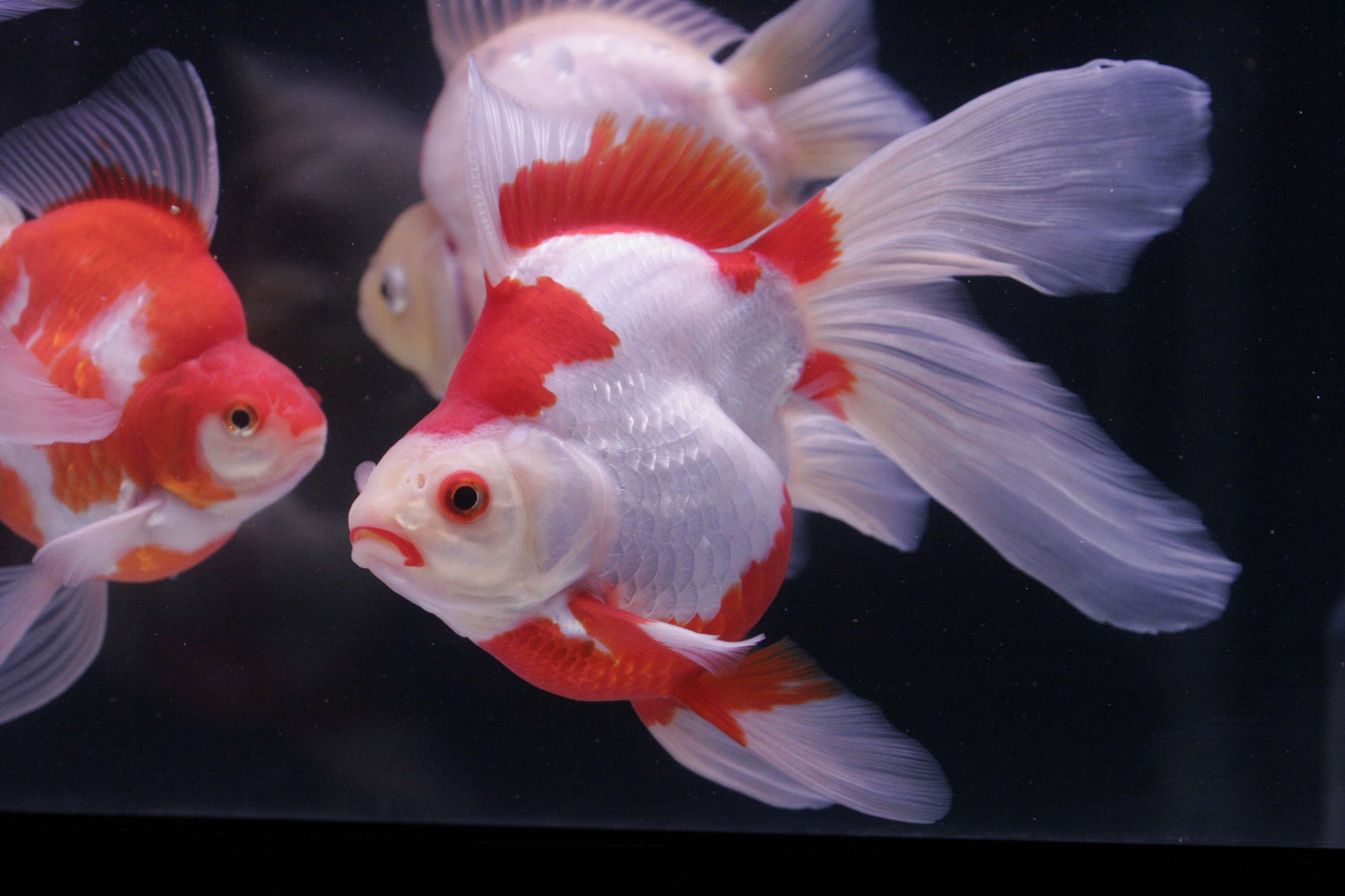 Tamasaba Ryukin Long Fin Goldfish Goldfish Types Aquarium Fish