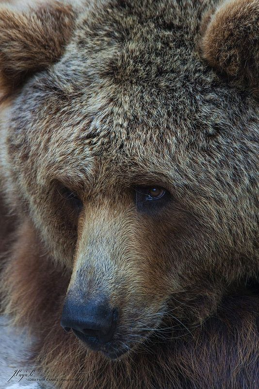 brown bear #bears