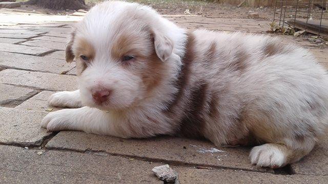 Litter Of 5 Australian Shepherd Puppies For Sale In Lubbock Tx
