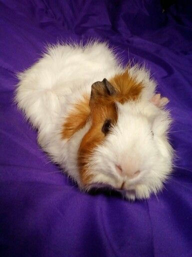 A Comprehensive Glimpse About Guinea Pig Life Span Guinea Pig Care Guinea Pigs Cute Guinea Pigs Baby Guinea Pigs