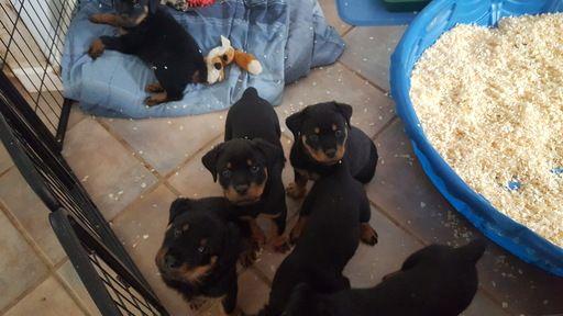 Rottweiler Puppy For Sale In Windham Nh Adn 23513 On Puppyfinder Com Gender Male Age 8 Wee Rottweiler Puppies For Sale Rottweiler Puppies Puppies For Sale