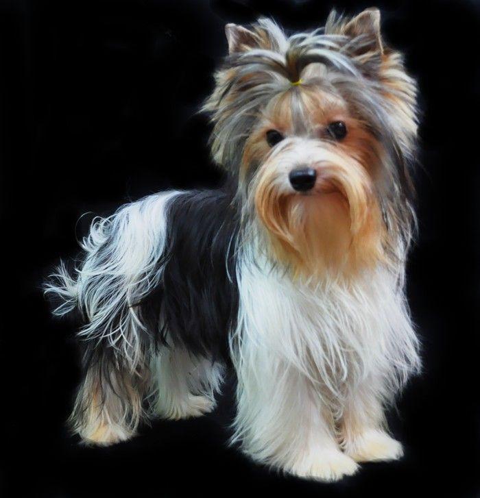 Parti Color Yorkie Poss My Next Dog