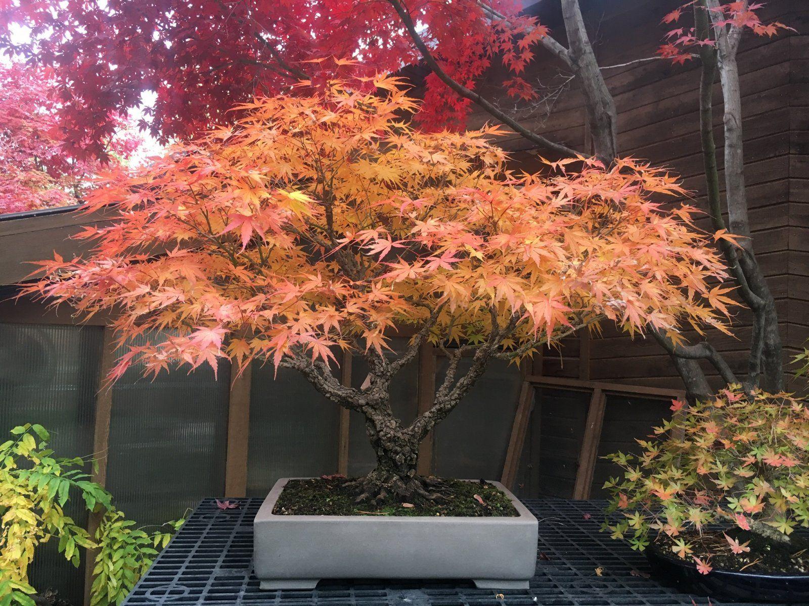 50 ORANGE DREAM JAPANESE MAPLE LACELEAF TREES  SEEDS ORNAMENTAL TRESS  BONSAI