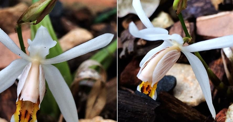 Cómo cuidar y mimar una de las orquídeas más bellas: Coelogyne viscosa