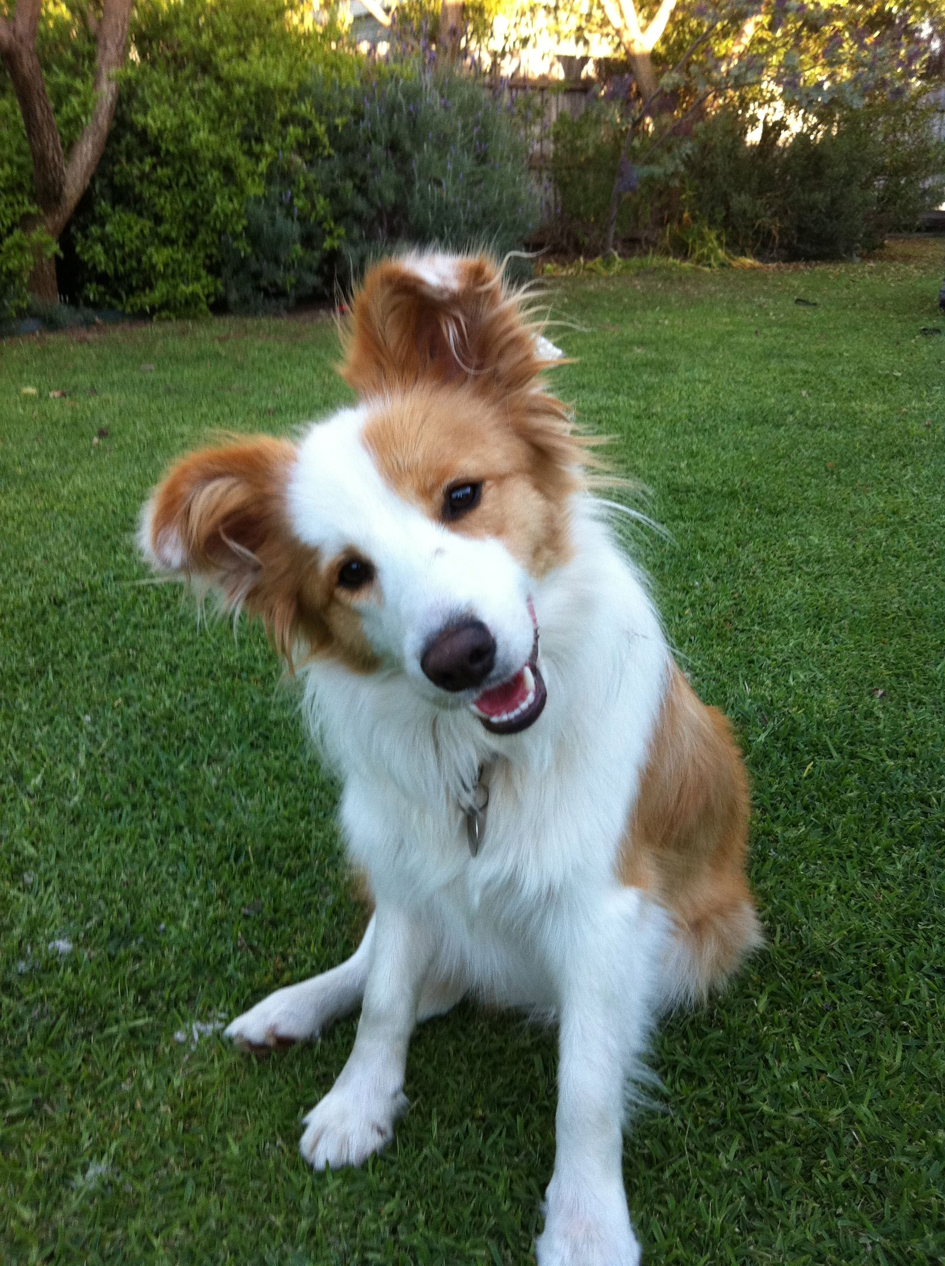 Border Collie Girl Cute! Pinterest Collie, Girls and Dog